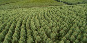 Arauco é primeira companhia florestal do mundo a certificar carbono neutralidade